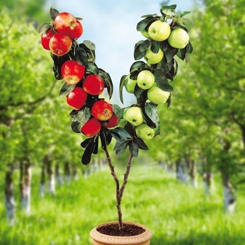 Ripen Dwarf Apple Tree